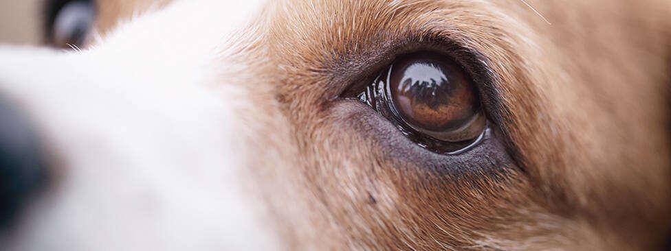 dogs eyes swollen