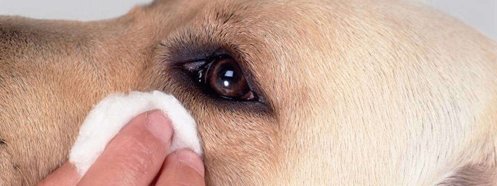dogs weeping